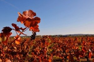 france-red-vineyard-300x199